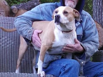Boxer/Staffordshire Bull Terrier Mix Dog for adoption in Thomasville, North Carolina - Candace
