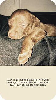Labrador Retriever/Schipperke Mix Puppy for adoption in Yreka, California - Ally