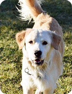 Golden Retriever Dog for adoption in Georgetown, Kentucky - Lola