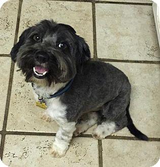 Shih Tzu Mix Dog for adoption in Fresno, California - Barney