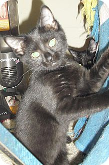 Domestic Shorthair Kitten for adoption in Fairborn, Ohio - Petunia-Crown Village