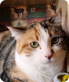 Domestic Shorthair Cat for adoption in Albany, New York - Cindy