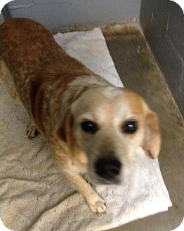 Beagle Mix Dog for adoption in Richmond, Virginia - Rusty