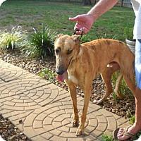 Adopt A Pet :: Kiowa Bright Sun - Knoxville, TN