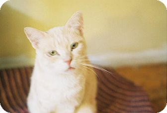Domestic Shorthair Cat for adoption in Berkeley, California - Daphne