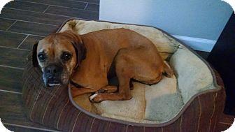 Boxer Dog for adoption in Austin, Texas - Sheri