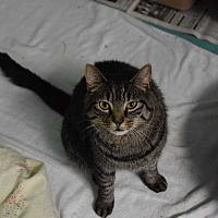 Domestic Shorthair Cat for adoption in Pottsville, Pennsylvania - MeNow
