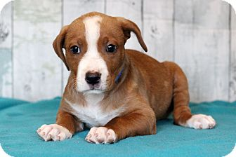 Labrador Retriever Mix Puppy for adoption in Waldorf, Maryland - Jasper