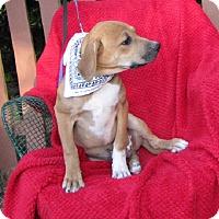 Adopt A Pet :: Joey - Oakland, AR