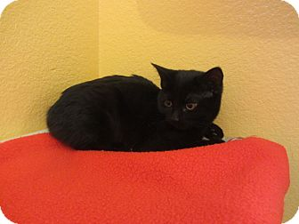 Domestic Shorthair Cat for adoption in Ridgway, Colorado - Puma