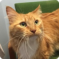 Domestic Longhair Cat for adoption in Winchester, Tennessee - Charlene