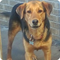 Hound (Unknown Type)/Shepherd (Unknown Type) Mix Dog for adoption in Mt. Prospect, Illinois - Skipper