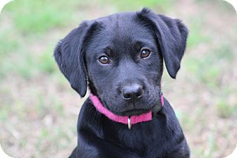 Labrador Retriever Mix Puppy for adoption in Glastonbury, Connecticut - Bliss~adopted!