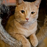 Adopt A Pet :: Butterscotch - Columbia, MD