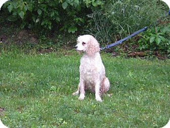 """Cockapoo Mix Dog for adoption in New Castle, Pennsylvania - """" Holly """""""