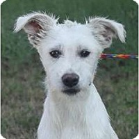 Adopt A Pet :: Wiley - URGENT FOSTER NEEDED - Seattle, WA