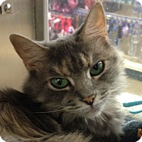 Adopt A Pet :: Smudge - Gilbert, AZ