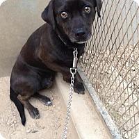 Adopt A Pet :: Peppy - Phoenix, AZ