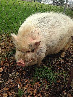 Pig (Potbellied) for adoption in sugar land, Texas - Oscar