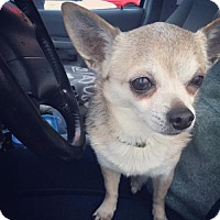 Chihuahua Dog for adoption in Johnson City, Tennessee - izzie