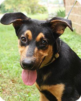 Shepherd (Unknown Type) Mix Puppy for adoption in Mayflower, Arkansas - Gus