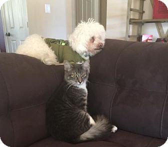 Domestic Mediumhair Kitten for adoption in Bulverde, Texas - Roscoe 2