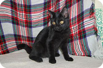Domestic Shorthair Cat for adoption in South Haven, Michigan - Tilly