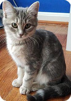 Domestic Shorthair Kitten for adoption in Fairfax Station, Virginia - Pumpkin Spice