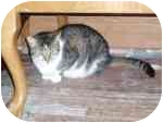 Domestic Mediumhair Cat for adoption in North Boston, New York - Diamond