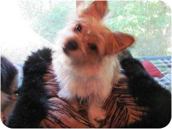 Cairn Terrier/Terrier (Unknown Type, Small) Mix Dog for adoption in Conroe, Texas - Captain