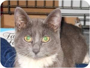 Domestic Shorthair Cat for adoption in Raritan, New Jersey - Annabelle