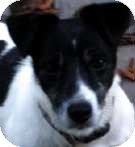 Jack Russell Terrier Dog for adoption in Rhinebeck, New York - Harley