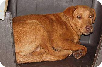 Golden Retriever/Labrador Retriever Mix Dog for adoption in Henderson, North Carolina - Eddie