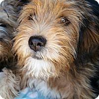 Adopt A Pet :: Cheyenne - no shed - Phoenix, AZ