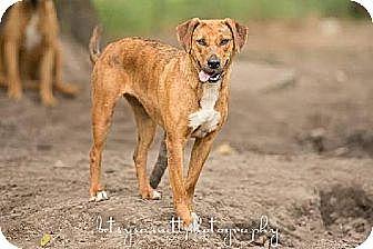 Hound (Unknown Type) Dog for adoption in Havana, Florida - Jasmine