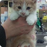 Adopt A Pet :: Tommy - Edmonton, AB