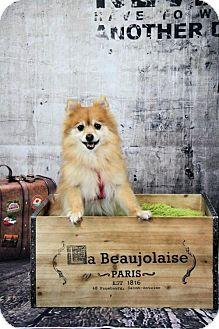 Pomeranian Dog for adoption in Dallas, Texas - Wicket