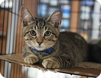 Domestic Shorthair Kitten for adoption in Carlisle, Pennsylvania - Hudson