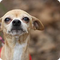 Adopt A Pet :: Brooklyn - Monrovia, CA