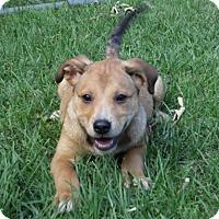Adopt A Pet :: Cupcake CC CP - Providence, RI
