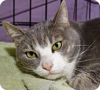 Domestic Shorthair Cat for adoption in Medford, Massachusetts - Chuck