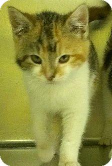 Domestic Shorthair Kitten for adoption in Richboro, Pennsylvania - Tamara