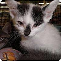 Adopt A Pet :: Spot - Warren, MI
