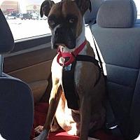 Adopt A Pet :: Mint Julep - Springfield, MO