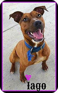 American Pit Bull Terrier Mix Dog for adoption in Williamsburg, Virginia - Lego