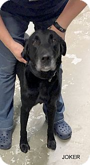 Labrador Retriever Mix Dog for adoption in Hibbing, Minnesota - Joker