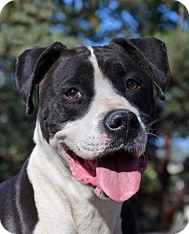 Boxer Mix Dog for adoption in Mountain Center, California - Atlas