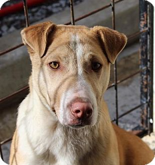 Cattle Dog/Shar Pei Mix Dog for adoption in Allentown, Pennsylvania - Sydney