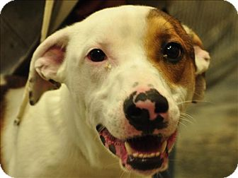 Australian Shepherd/Blue Heeler Mix Dog for adoption in Osage Beach, Missouri - Logan
