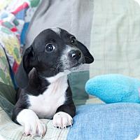 Adopt A Pet :: Joey - Marietta, GA
